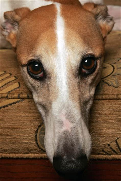 1000 images about precious greyhounds on