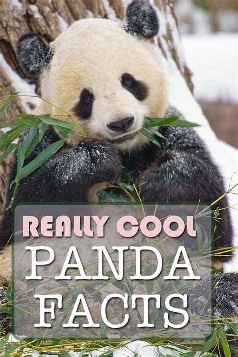 giant panda facts travel  wildlife