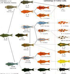 koi breed chart garden ponds koi fish colors koi