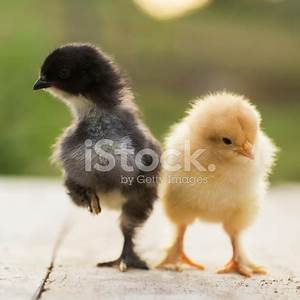 Black and Yellow Baby Chicks Stock Photos - FreeImages.com