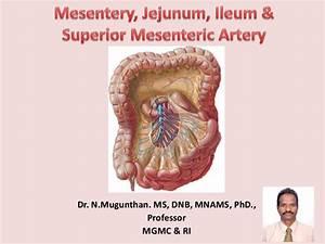 Mesentery  Jejunum  Ileum  U0026 Superior Mesenteric Artery