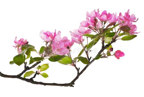 Pink Apple Tree Isolated Floral Branch Stock Image Image