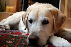 Yellow Labrador Retriever Dog  U00b7 Free Photo On Pixabay