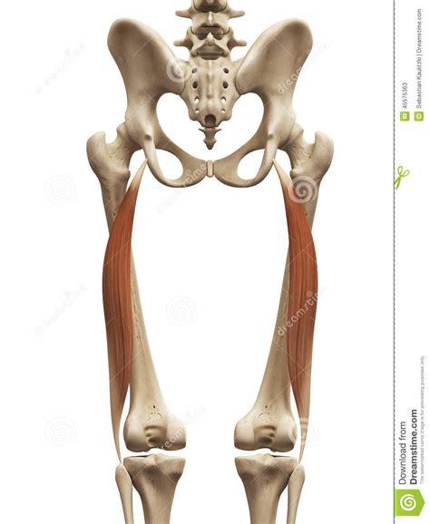 biceps femoris long head stock illustration