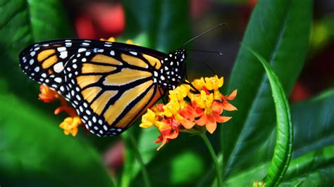 monarch butterfly wallpaper iphone android desktop