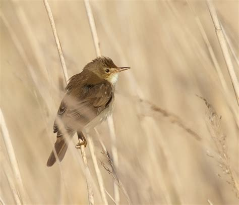 marsh warbler song call voice sound