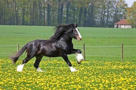 horse breeds popular most
