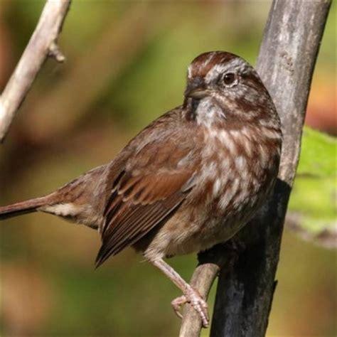fifteen common garden birds vancouver bird week