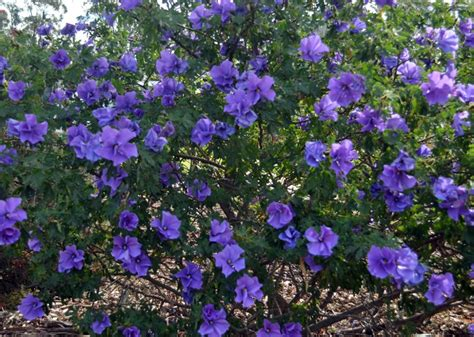 tree with small purple flowers australian native plants flowering bushes hibiscus flowers and shrub