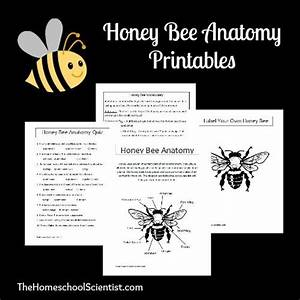 Honey Bee Anatomy Printable Lesson