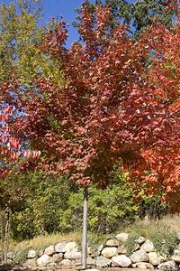 Scarlet Jewell Maple - Plant Library - Pahl's Market ...  Maple