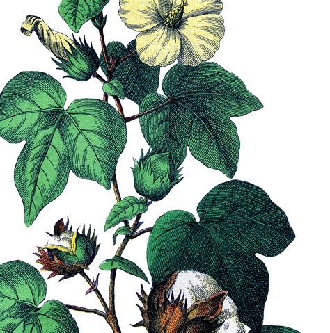 Botanical Cotton Plant Image!   The Graphics Fairy