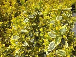 Arbuste Feuillage Persistant Croissance Rapide : haie basse de 10 arbustes feuillage persistant ~ Premium-room.com Idées de Décoration