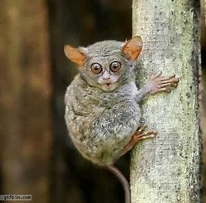 Tarsier Saying Ho Ho Ho | Best Funny Gifs Updated Daily