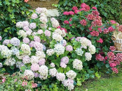 planter des hortensias en pot la plantation de l hortensia