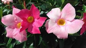 Blühende Kletterpflanzen Winterhart Mehrjährig : kletterpflanzen als sichtschutz f r balkon und terrasse ~ Michelbontemps.com Haus und Dekorationen