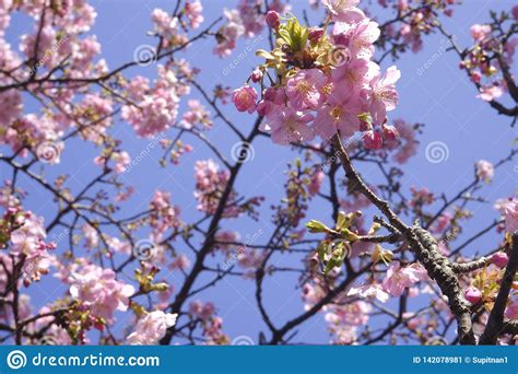 Close up Japan Cherry Blossom Pink Flower Sakura Branch