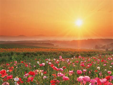 Sunrise Over Fields Of Flowers Content In A Cottage