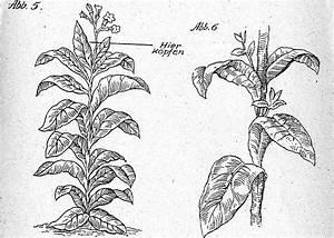 Tabak Selber Anbauen : tabakpflanzen pflege im sommer k pfen ausgeizenden reife der tabakbl tter grumpen ~ Frokenaadalensverden.com Haus und Dekorationen