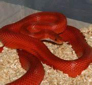 Bloodred Stripe Corn Snake
