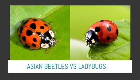 ladybug vs asian beetle asian beetles vs ladybugs best naked ladies