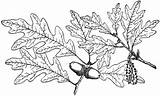 Oak Coloring Tree Leaves Template sketch template