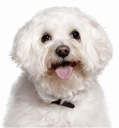 Poodle Puppies Bichon Maltese Teacup Frise Dog