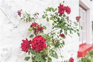 Kletterrosen Richtig Pflanzen : rosen anbinden so machen sie 39 s richtig ~ Markanthonyermac.com Haus und Dekorationen