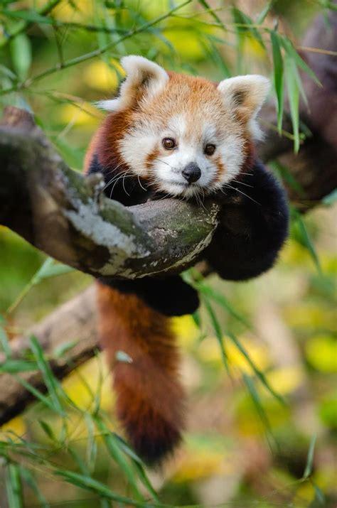 Red Panda Cute Baby Animals