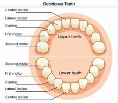 Images for teeth diagram buy3coupon13 hd wallpapers teeth diagram ccuart Choice Image