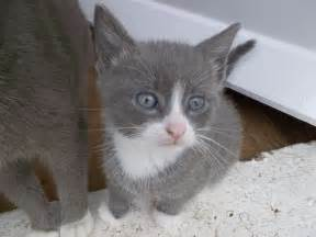 county cat gray and white kittens for darlington county durham
