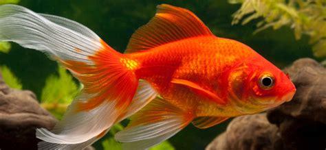 wie groß werden goldfische wie alt werden goldfische im aquarium