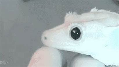 Pupils Contract Dilate Watching Gecko Satisfying Pretty