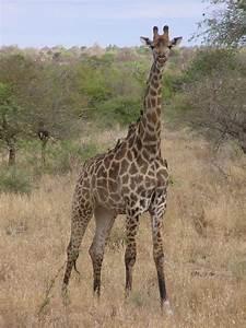 Southern giraffe - Wikipedia  Giraffe