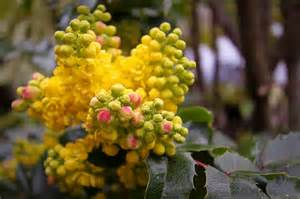 Oregon Grape Flower
