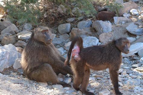 female baboon presenting  male image eurekalert
