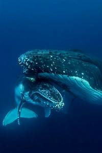Whale mother and Baby Haapai Tonga by (Darren Rice ...