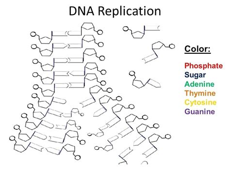 Dna Replication Activity Worksheet Worksheets For All  Download And Share Worksheets  Free On
