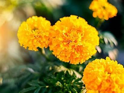 Marigolds Marigold Flowers Sowing Golden Lovethegarden Grow