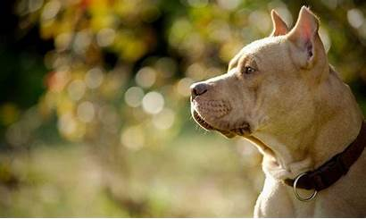 Pitbull Wallpapers Dog Pit Bull Puppy Dogs