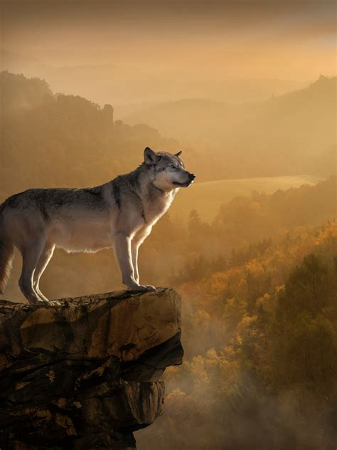 wallpaper wolf rocks forest foggy  animals