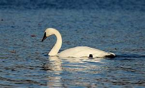 Both Trumpeter and Tundra Swans migrate through Minnesota ...