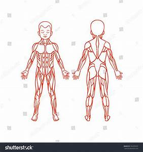 Anatomy Children Muscular System Exercise Muscle Stock
