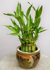 Lifestyle  The Different Ways Of Setting Lucky Bamboo
