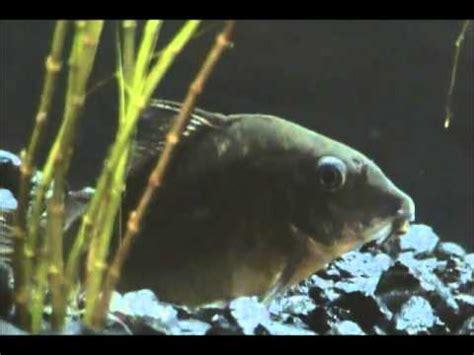 breed cory catfish youtube