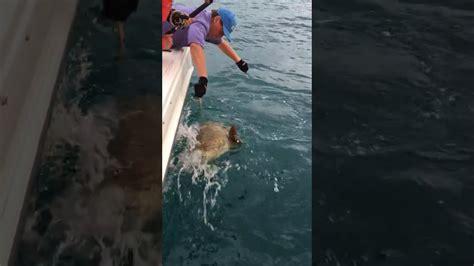 grouper catch goliath