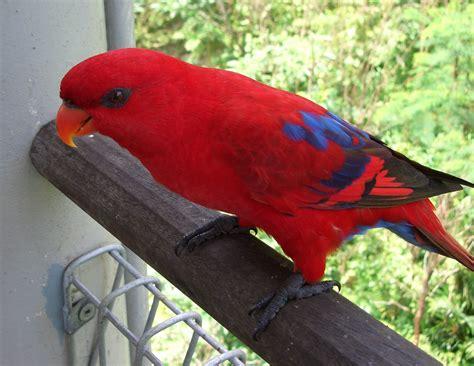 file red lory eos bornea jurong bird park2 3c jpg