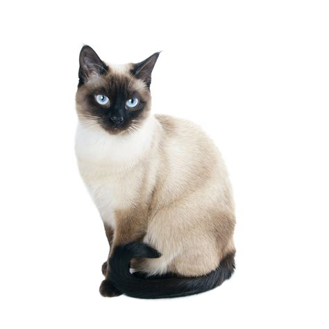 The Top 10 Smartest Cat Breeds Cattime