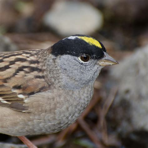 Golden Crowned Sparrow National Geographic