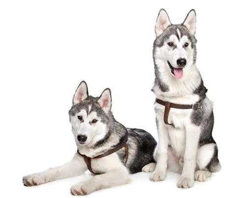 dog food  huskies dont give  dog underrated